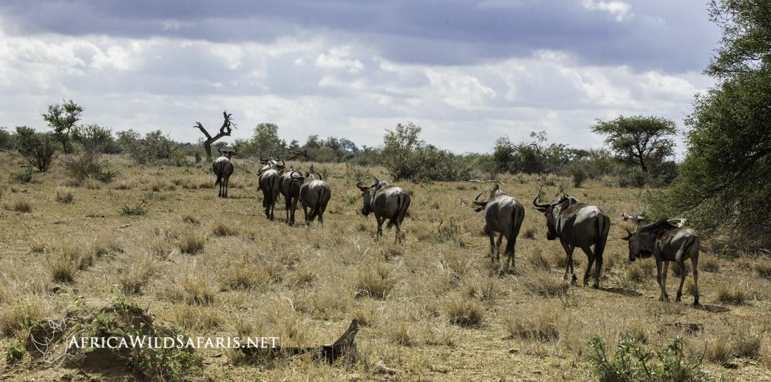 wildebeest herd on the move