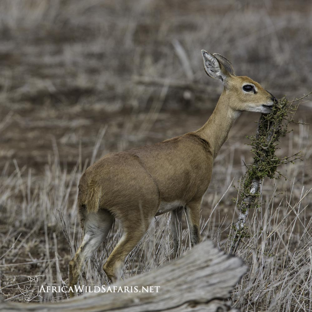 A small steenbok can fall victim to a skilled raptor