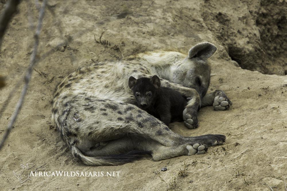 hyena with puppy