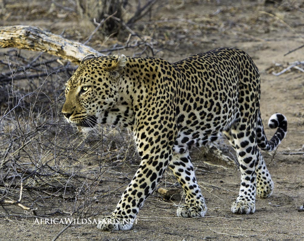 A male leopard starts out in the late afternoon on a hunt