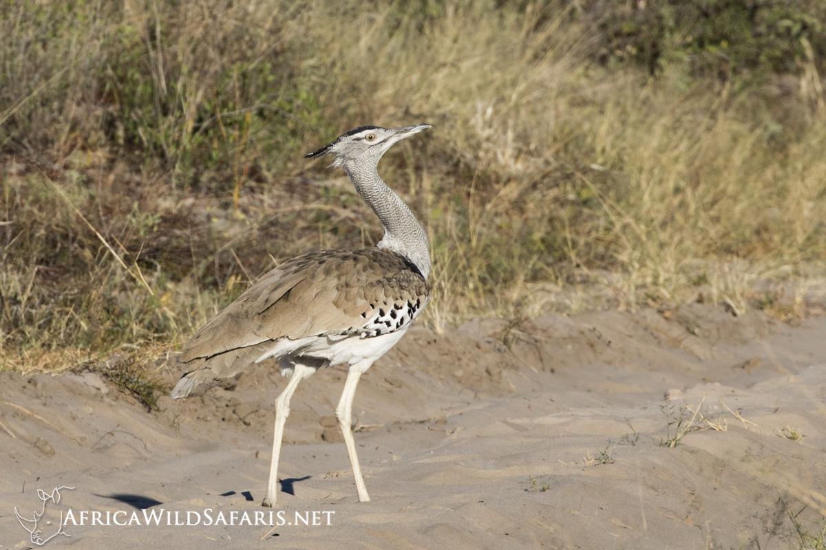 Kori Bustard seen on photo safari