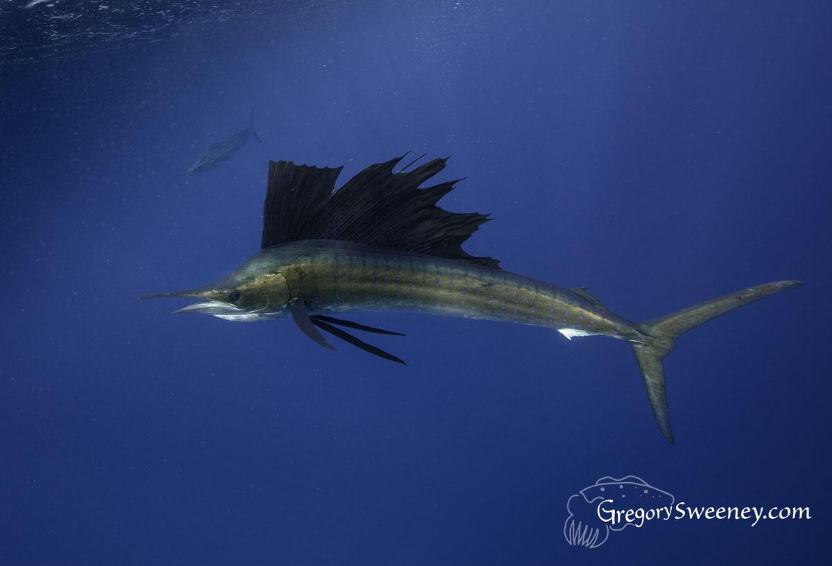 Swim with Sailfish Mexico
