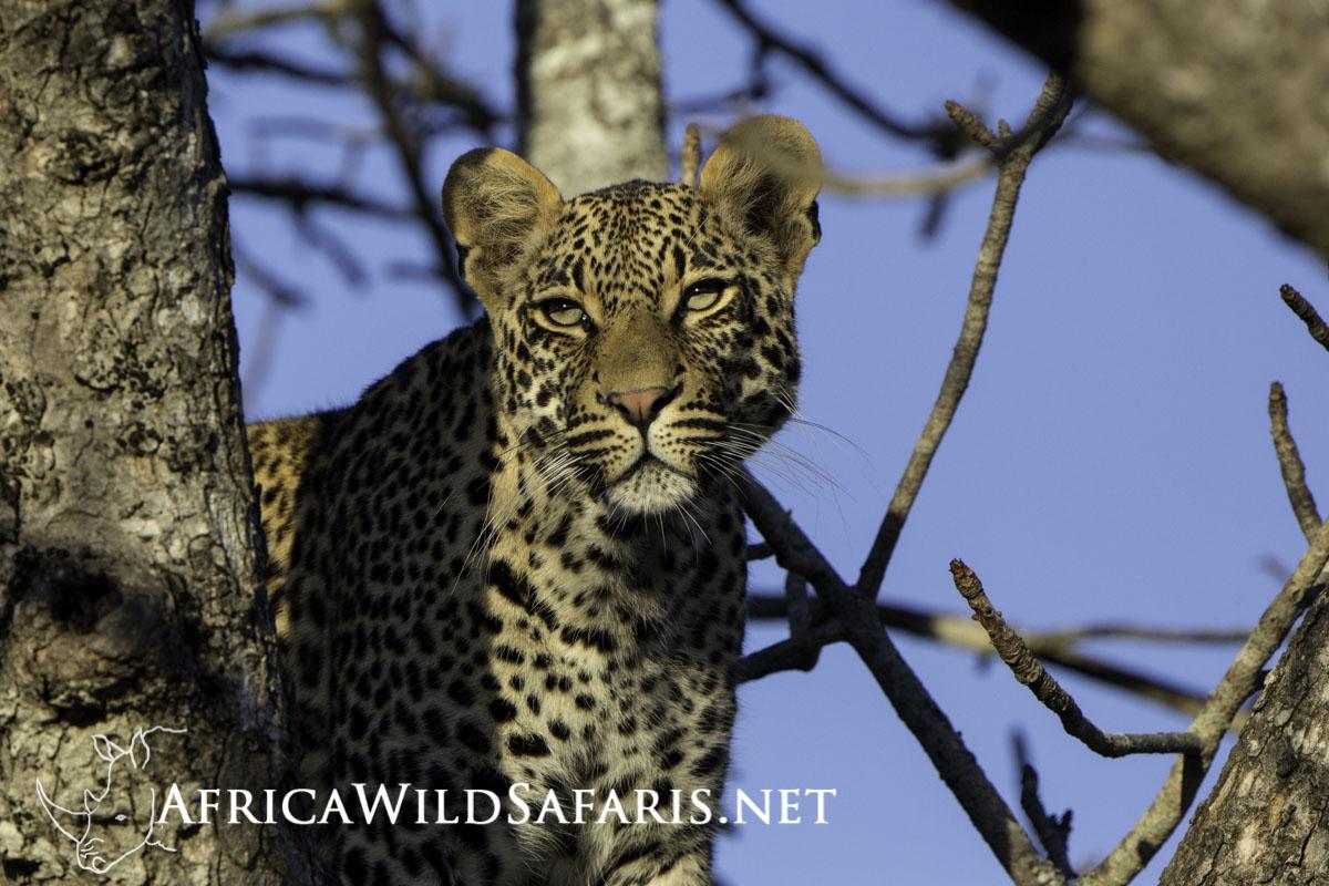 photograph Leopards