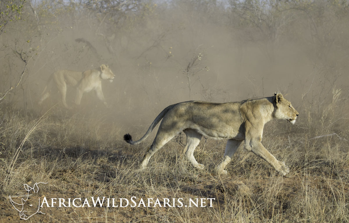 Photograph Lions in South Africa