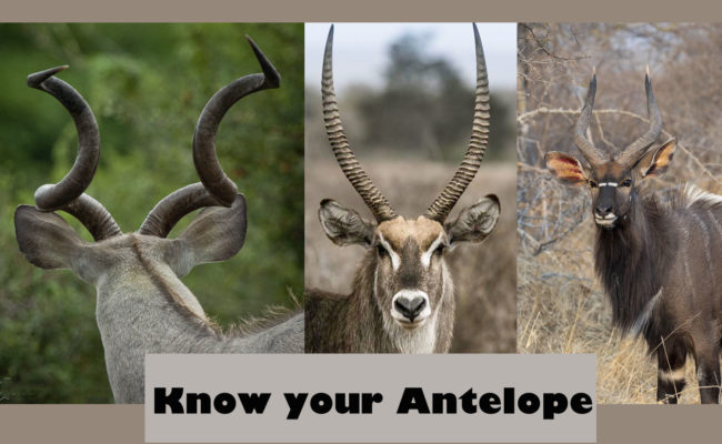 know your antelope