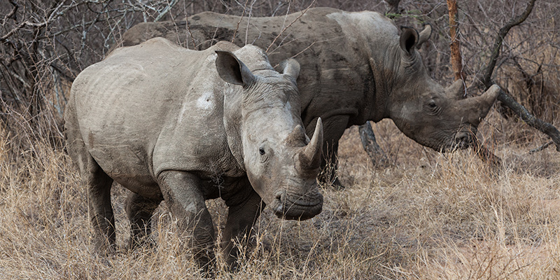 safari with Wild white rhinos in South Africa
